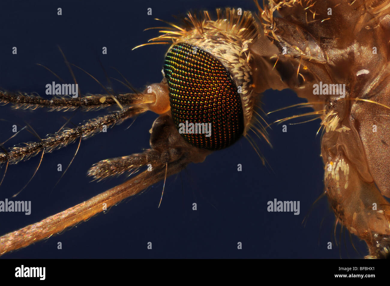The head of a mosquito, culex pipiens taken through a microscope Stock Photo