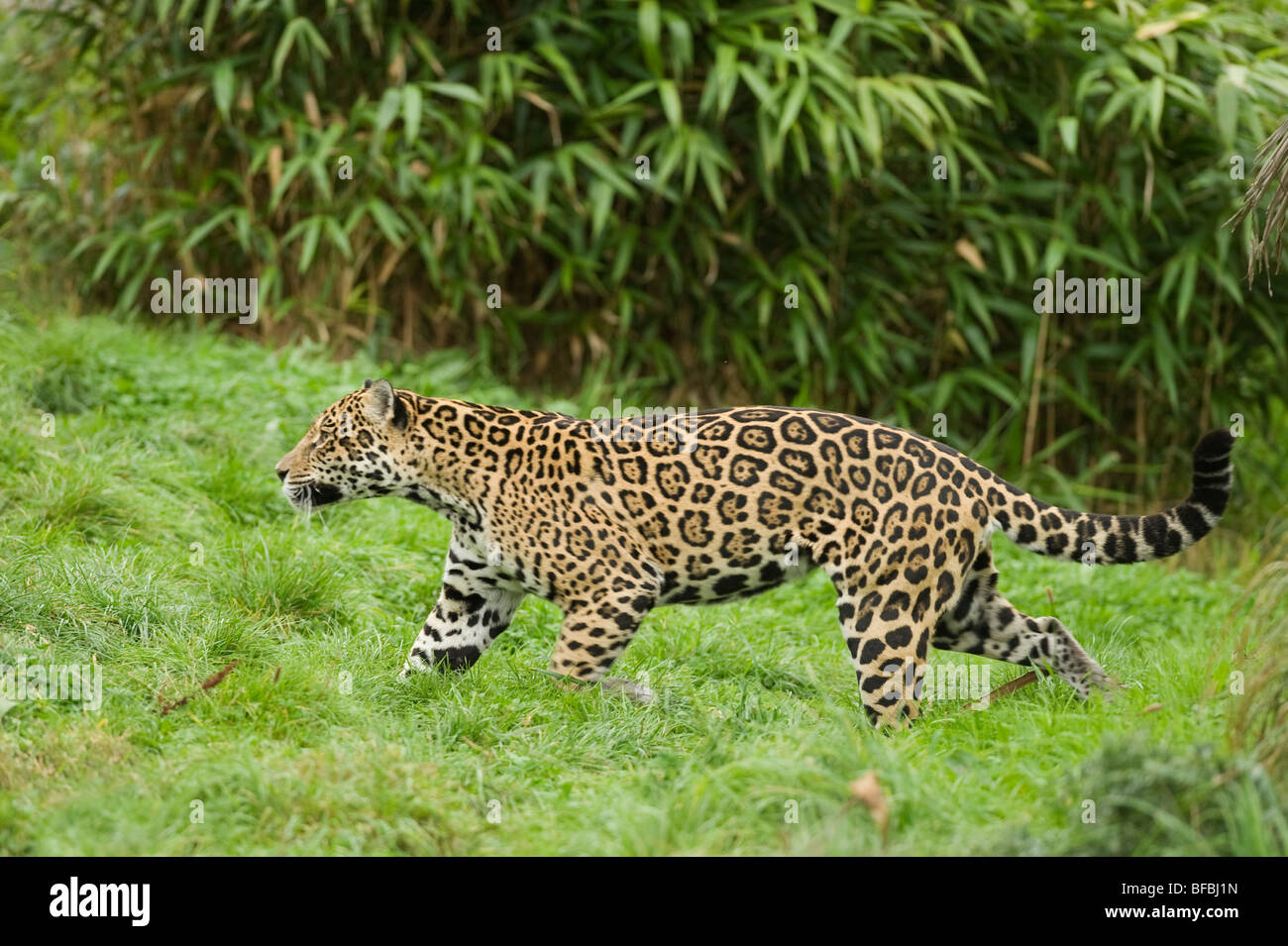 Jaguar Panthera Onca Central And South America Captive Chester