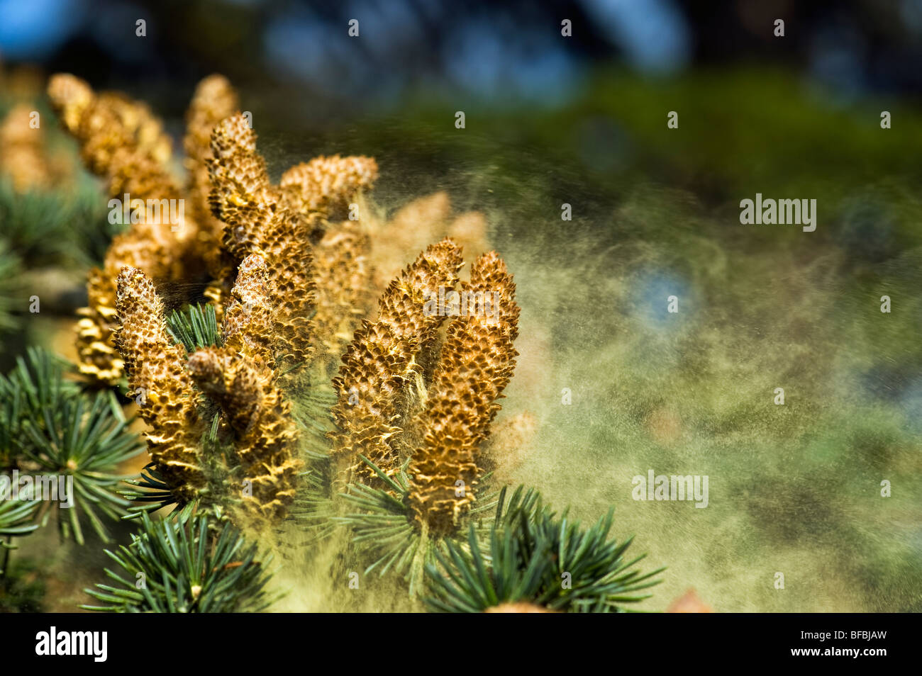 conifer coniferous tree pollen dispersal dispers pine  fir cone fircone flower flourish bloom blooming cones cone - Stock Image