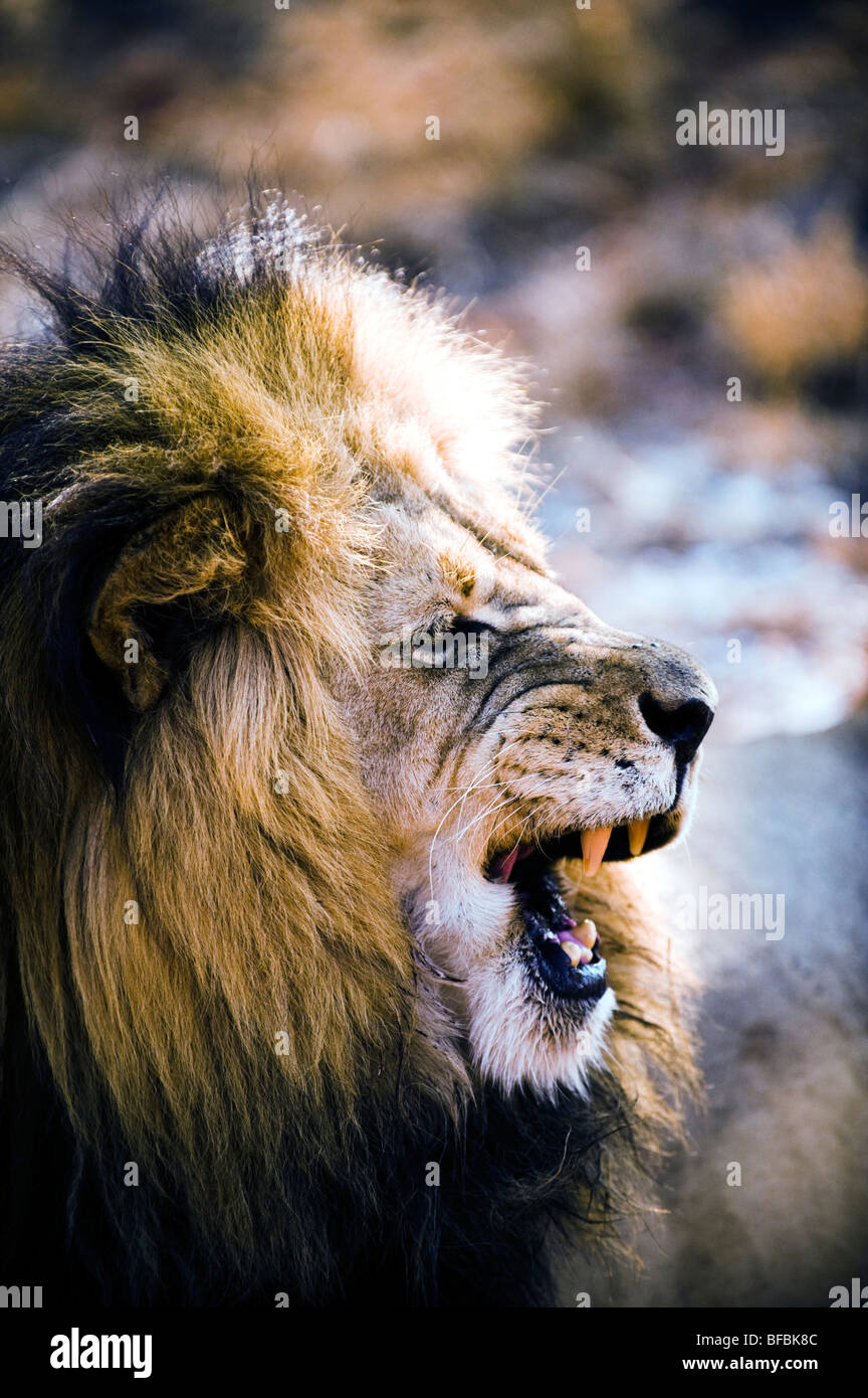 Male Lion Snarling - Stock Image
