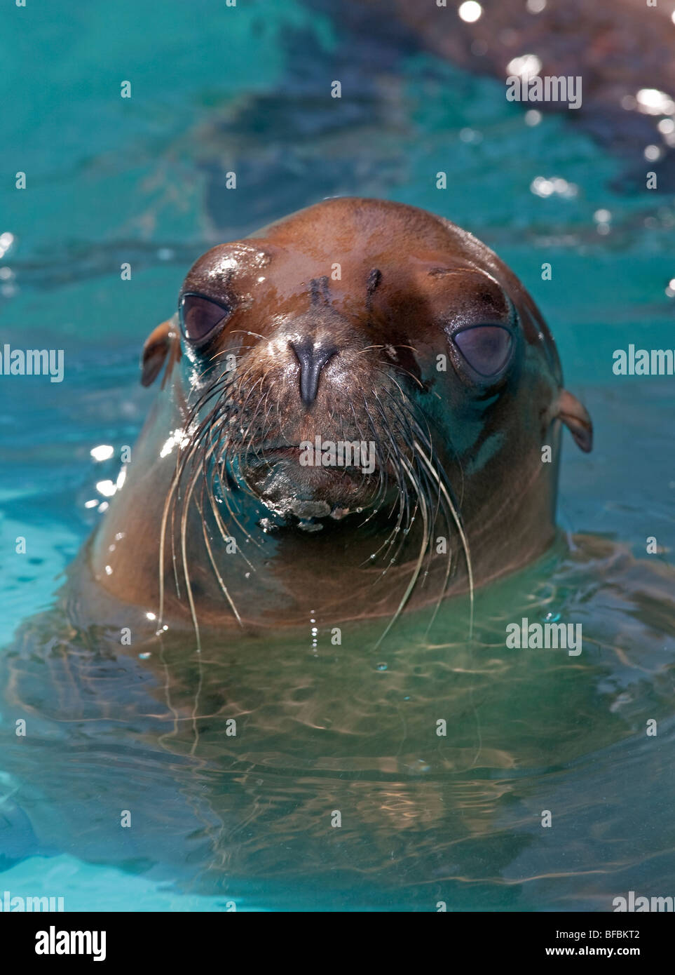rescued seal rescue center pup saved - Stock Image