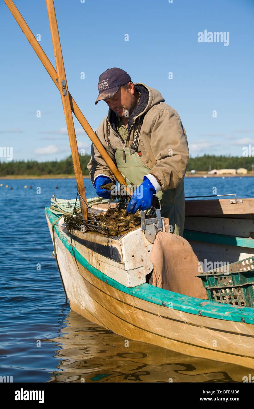 Havesting oysters, East Bideford, Malpeque Bay, Prince Edward Island, Canada (MR) - Stock Image