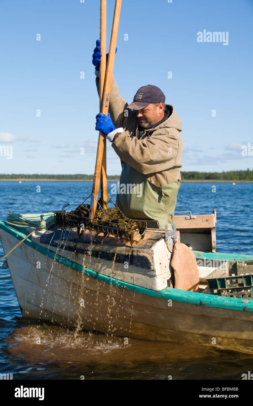 Havesting oysters, East Bideford, Malpeque Bay, Prince Edward Island, Canada - Stock Image