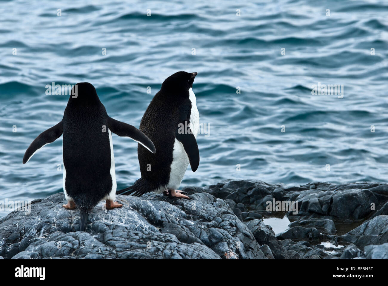 Adelie Penguin Antarctic Peninsula pair waiting at the water's edge to take the plunge - Stock Image