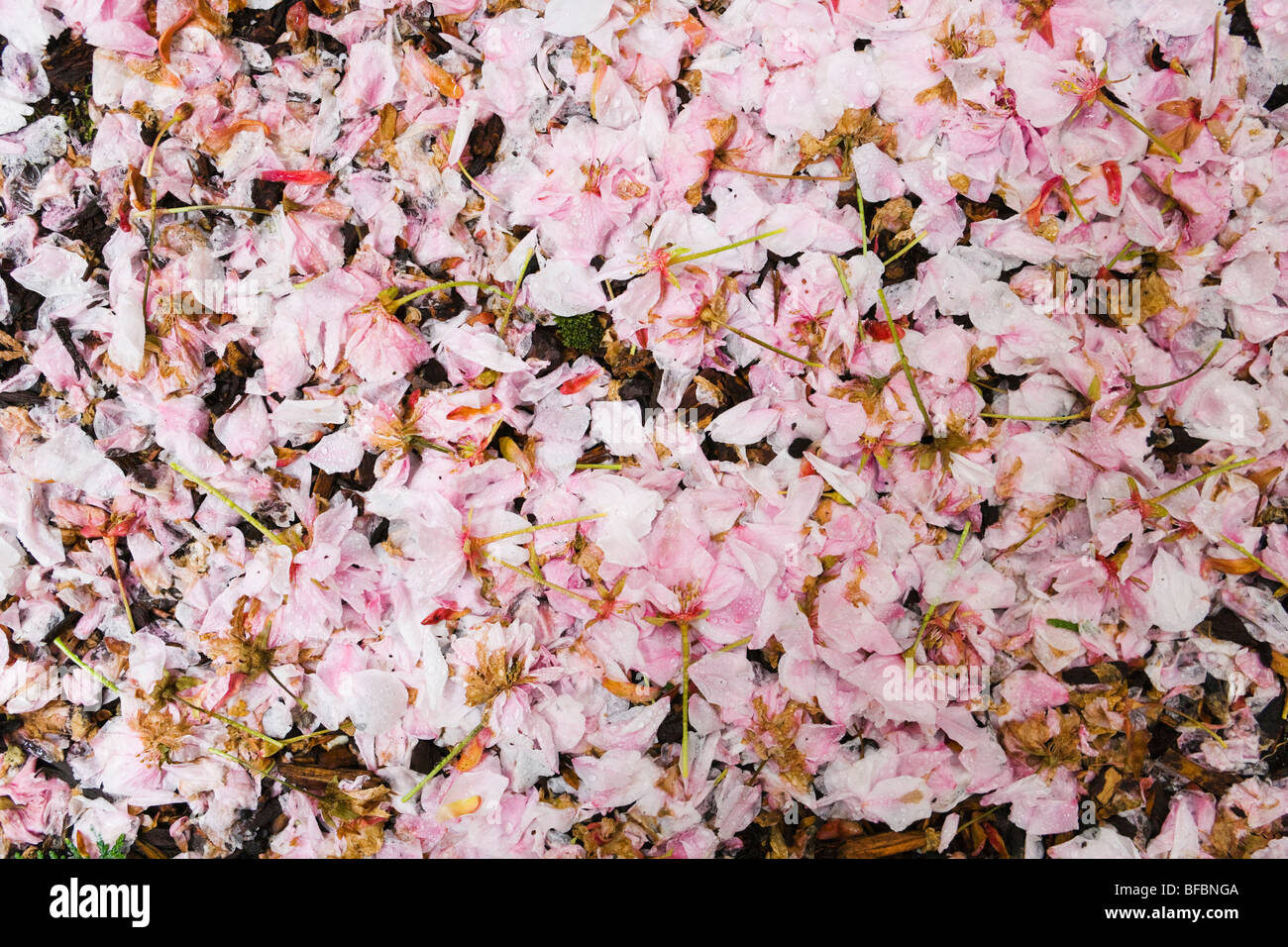 Cherry tree blossoms deteriorating on the ground after falling from the tree. - Stock Image