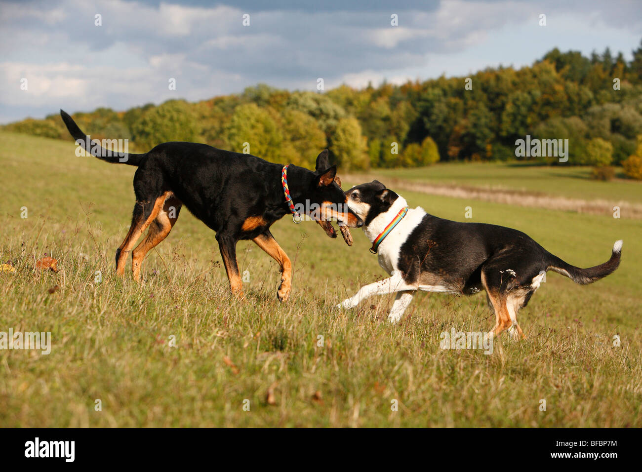 mixed breed dog (Canis lupus f. familiaris), ten years old female Dobermann-mixed breed dog and twelve years old - Stock Image