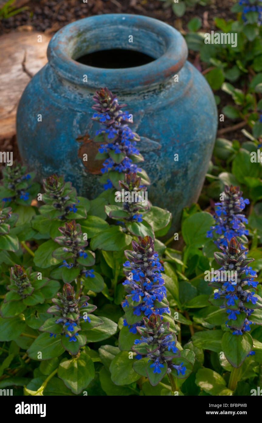 Bugle flower, ajuga reptans in blossom with the colour accented by a blue pot Stock Photo