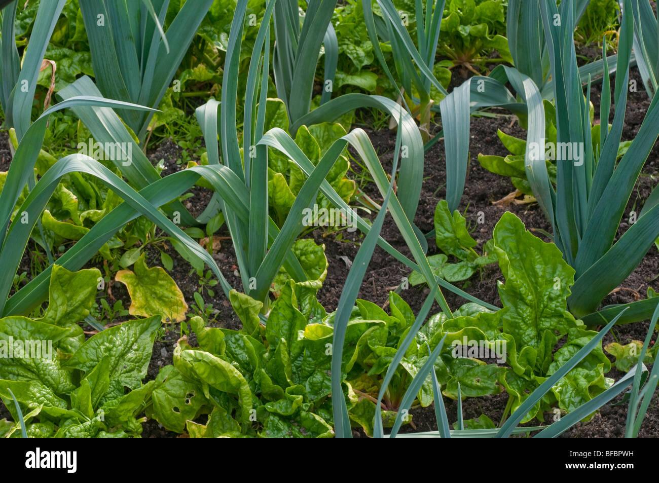 Companion Planting High Resolution Stock Photography and ... Leek Companion Plants