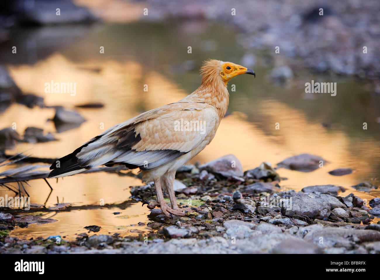 Egyptian Vulture (Neophron percnopterus) drinking water at Wadi Da'arho canyon, Socotra Island, Yemen - Stock Image
