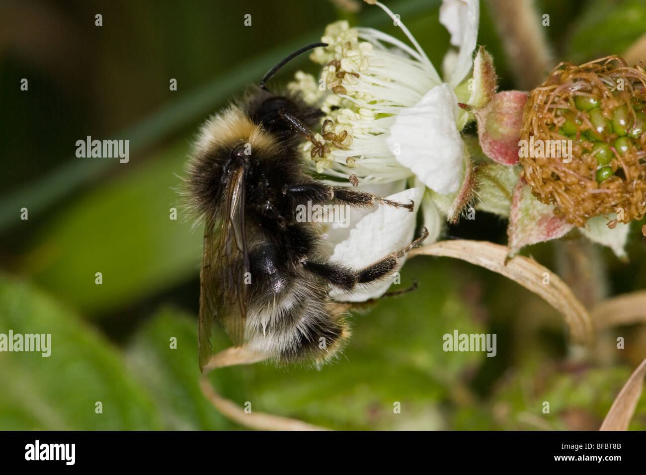 Forest Cuckoo Bumblebee, Bombus sylvestris, on Bramble flower - Stock Image
