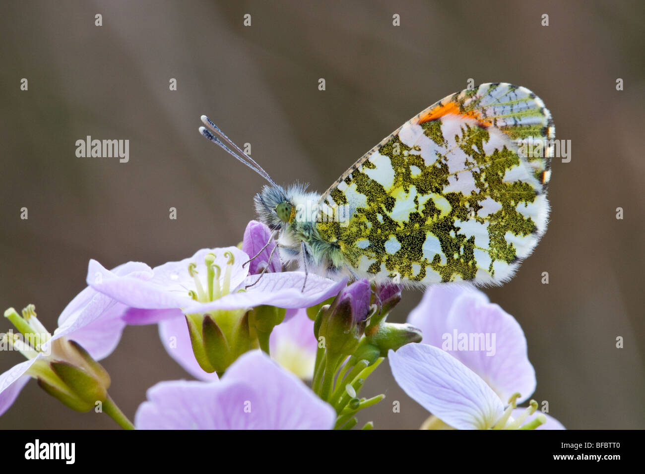 Orange-tip butterfly, Anthocharis cardamines on Lady's Smock Stock Photo