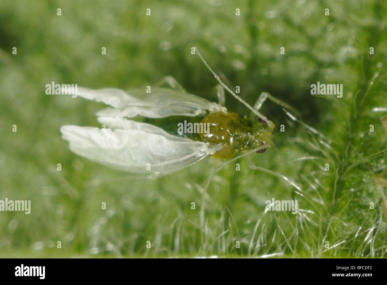 Cotton aphid (Aphis gossypii) alate after exdiasis with expanding wings on a blackberry leaf - Stock Image