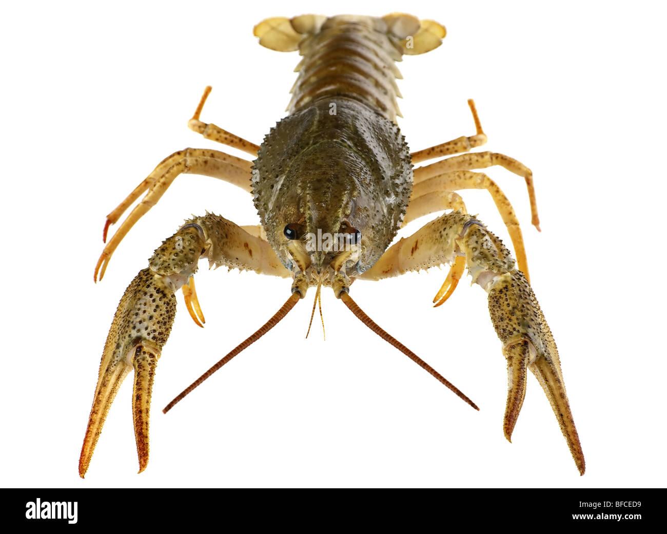 River raw crayfish closeup on white background - Stock Image