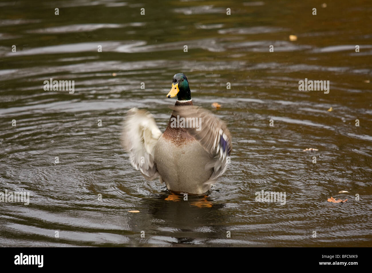 A Mallard flaps his wings to remove water as part of its grooming regimen. - Stock Image