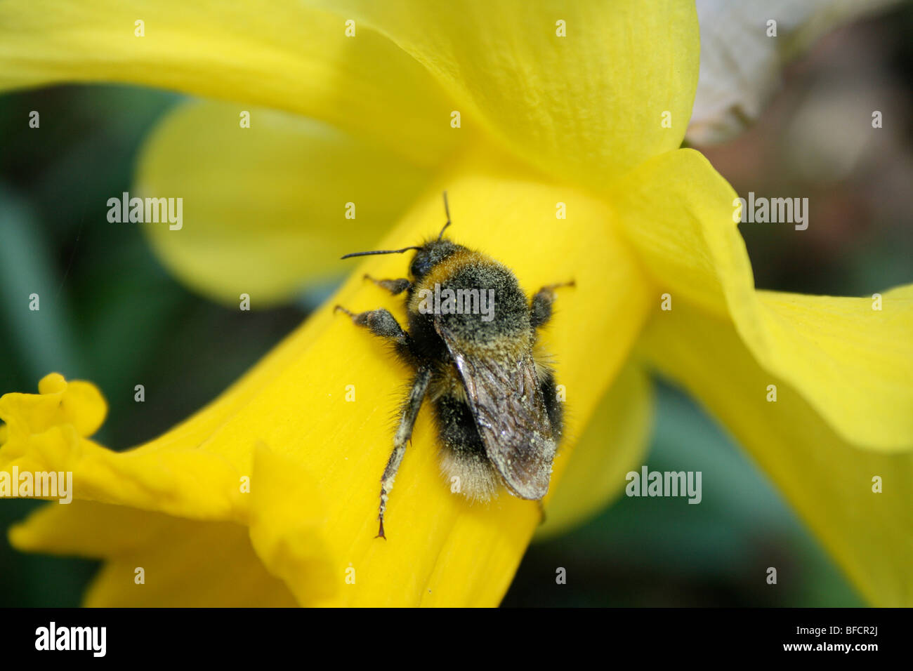 Daffodil and pollen-dusted bee - Stock Image