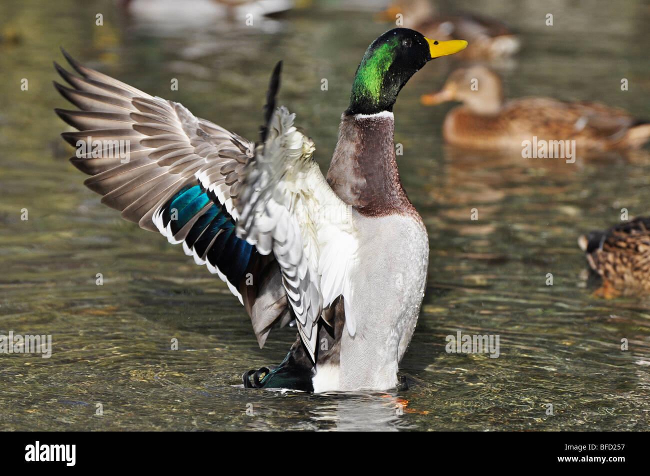 Mallard Drake - male mallard - Stock Image