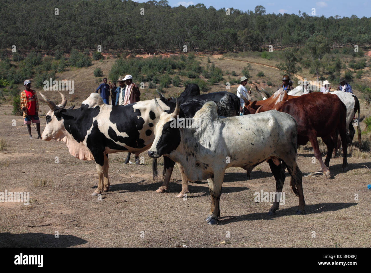 Zebu for sale at a local Malagasy market - Stock Image