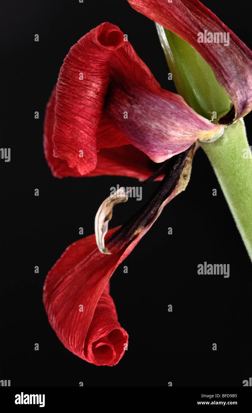 Wilted red Dwarf Tulip close up - Stock Image