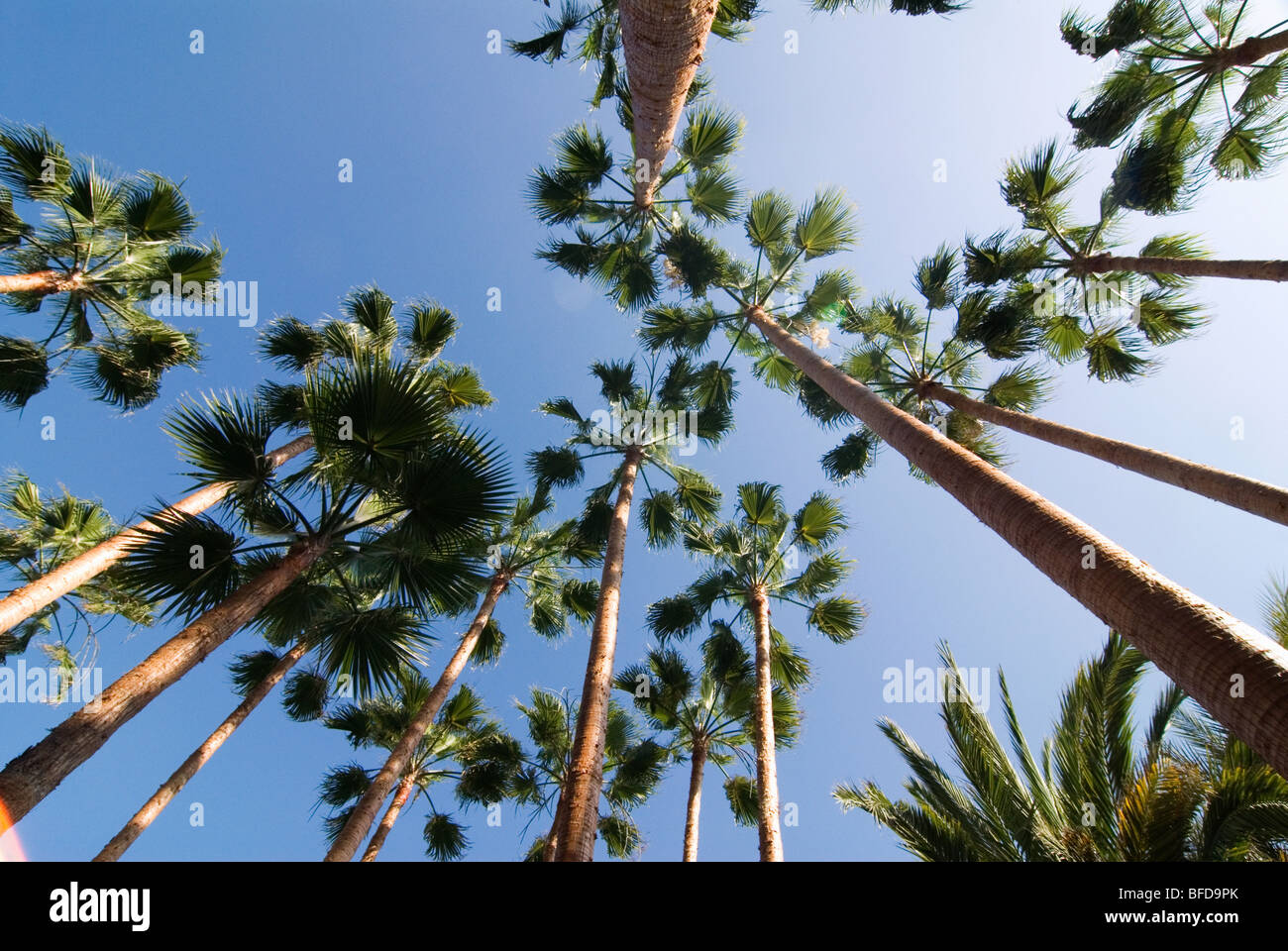 Worms-eye view of palm-trees in La Palma, Canary Islands, Spain, Europe. - Stock Image