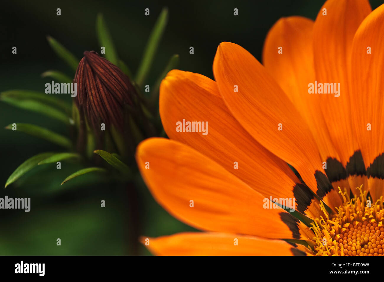 Orange Gazania close up Stock Photo