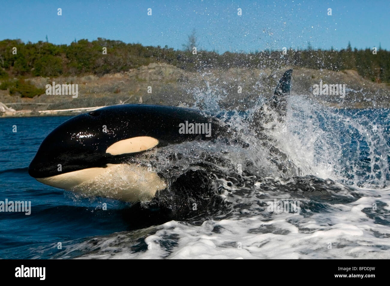 Killer whale surfacing with a splash, Port McNeill, British Columbia, Canada - Stock Image