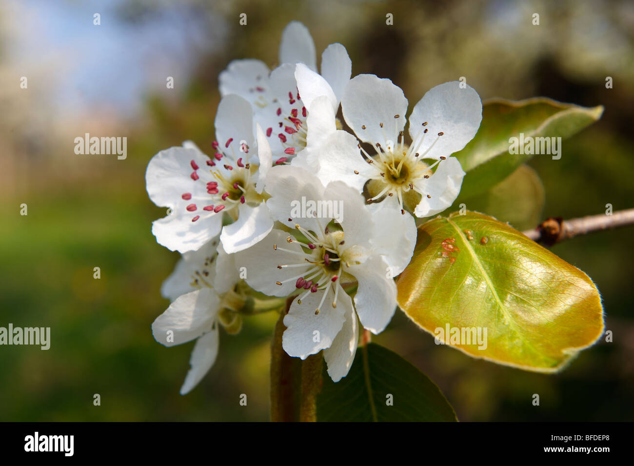 White cherry blossom on the orchard tree. - Stock Image