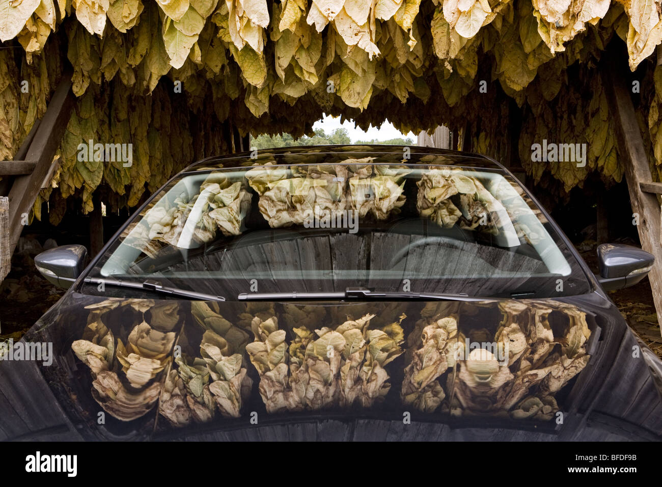 Reflections of tobacco leaves on a car's glass and chrome surface. - Stock Image
