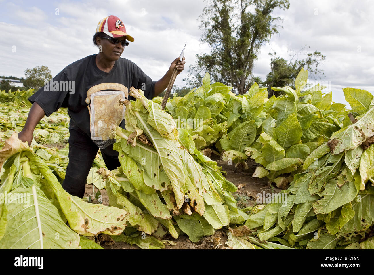 Woman harvesting tobacco. - Stock Image