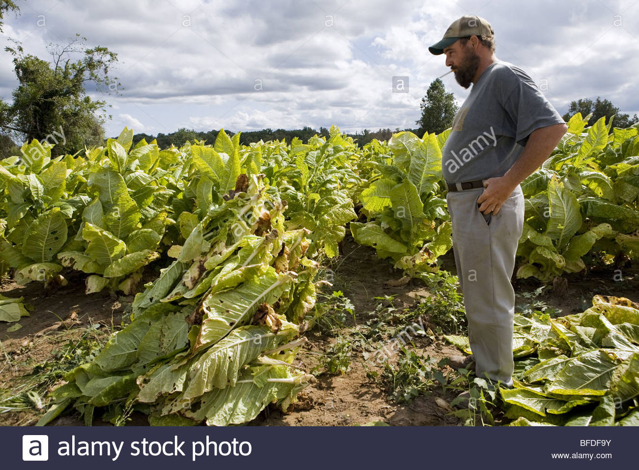 A portrait of a tobacco farmer looking at his crop. - Stock Image