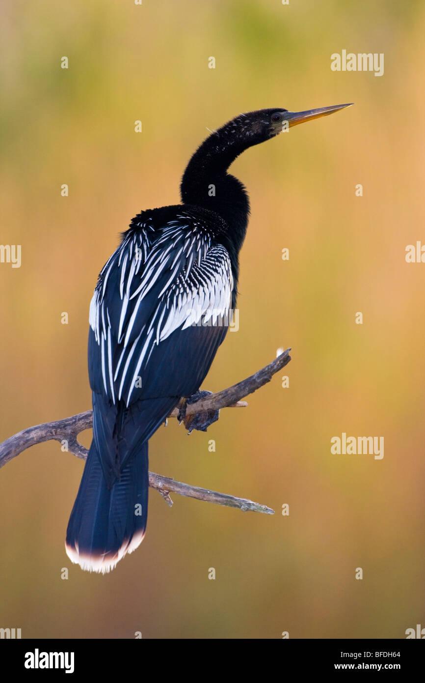 Anhinga (Anhinga anhinga) perched on a branch at Estero Llano Grande State Park in Texas - Stock Image