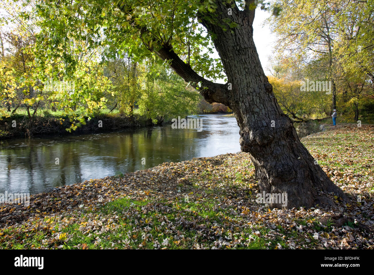 A Maple tree frames an autumn view of the Brandywine River along the ...