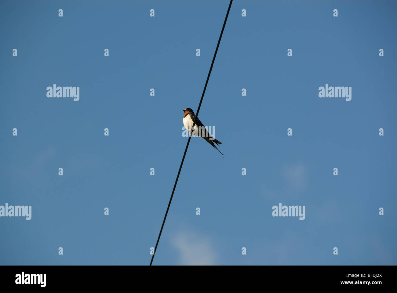 Swift perched on telegraph wire - Stock Image