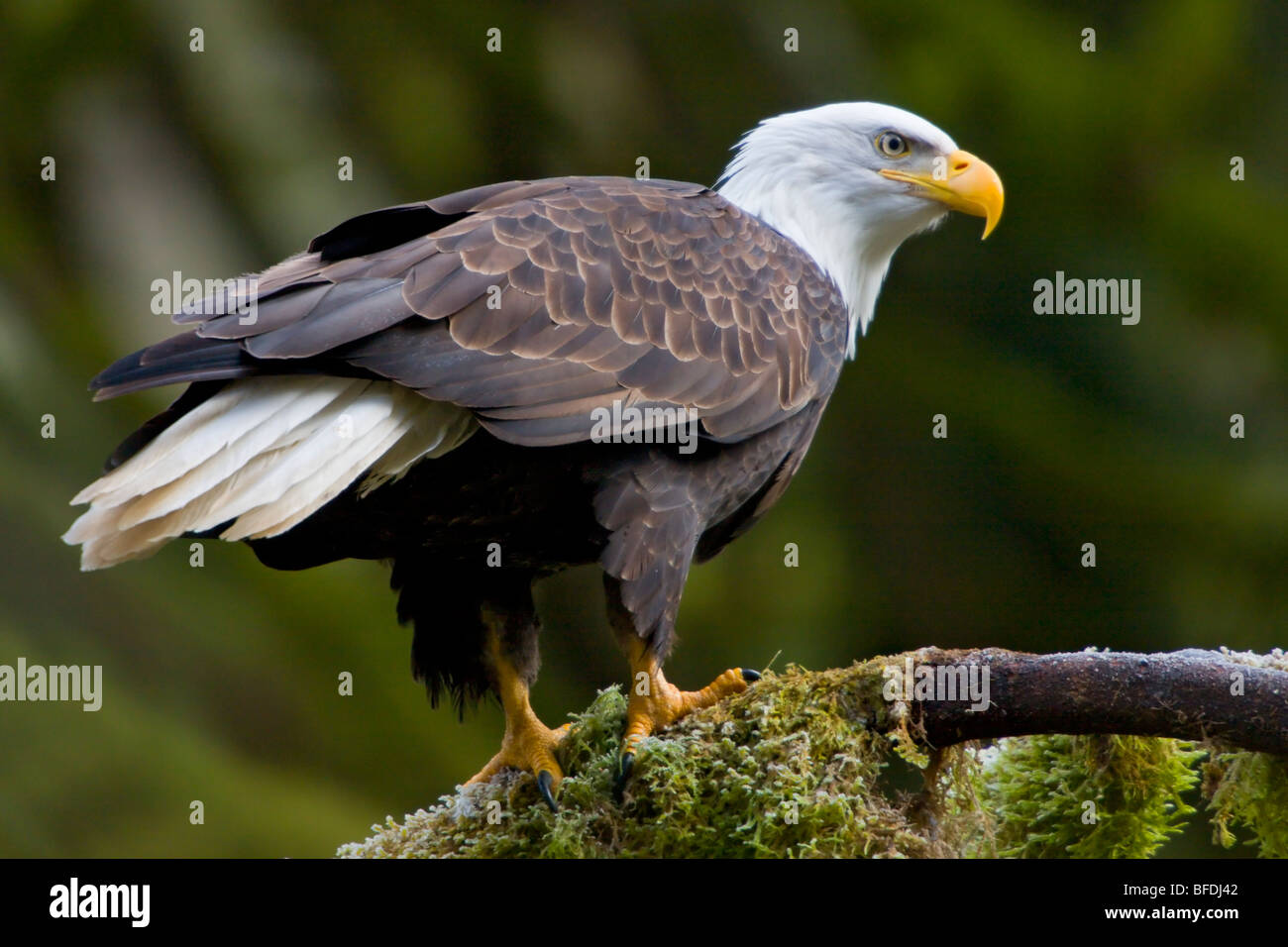 Bald eagle (Haliaeetus leucocephalus) perched on a mossy branch in Victoria, Vancouver Island, British Columbia, - Stock Image