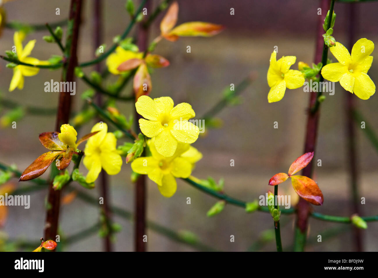 Winter Flowering Jasmine A Climbing Plant In A November Garden In