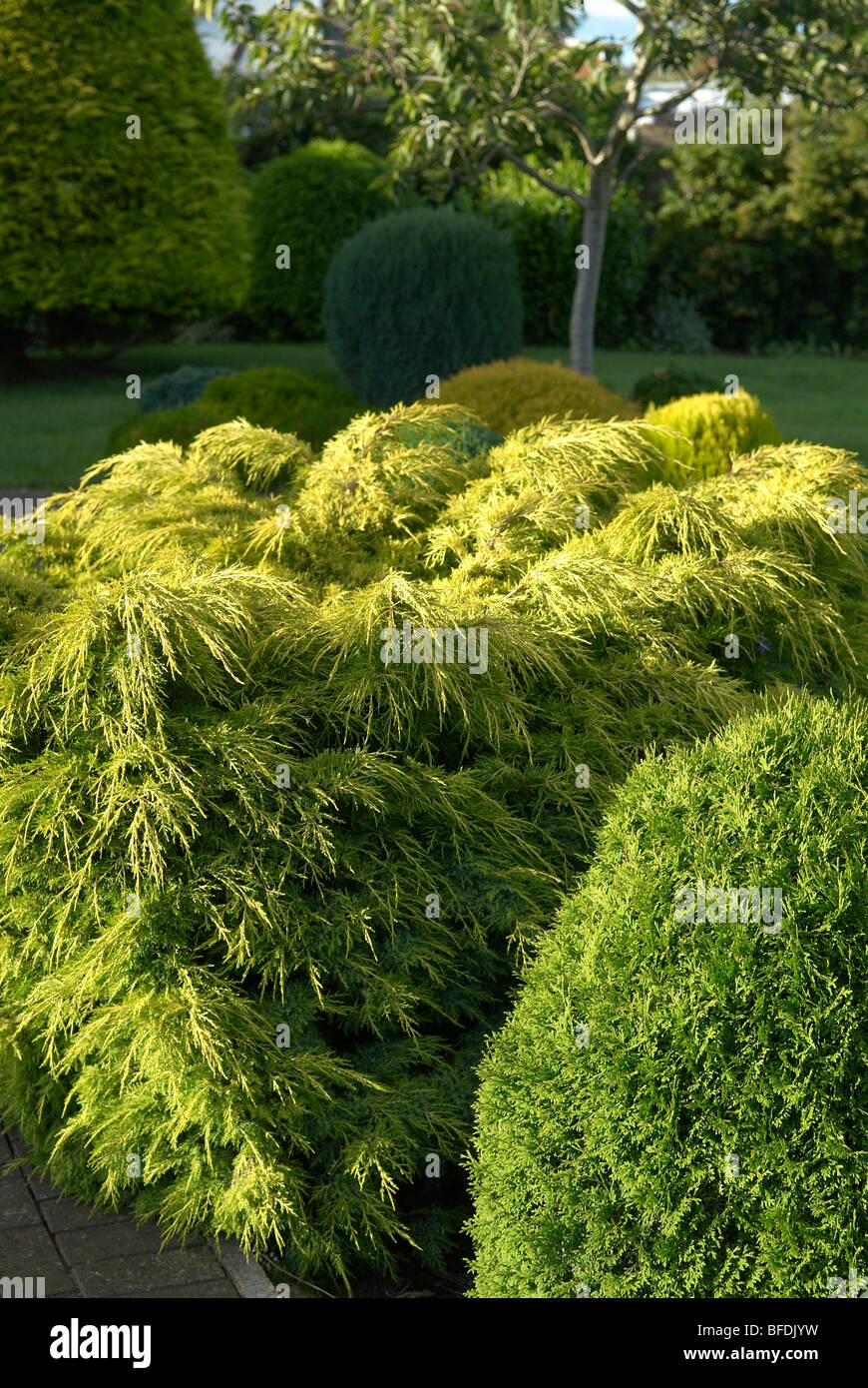 Conifers as part of a garden - Stock Image