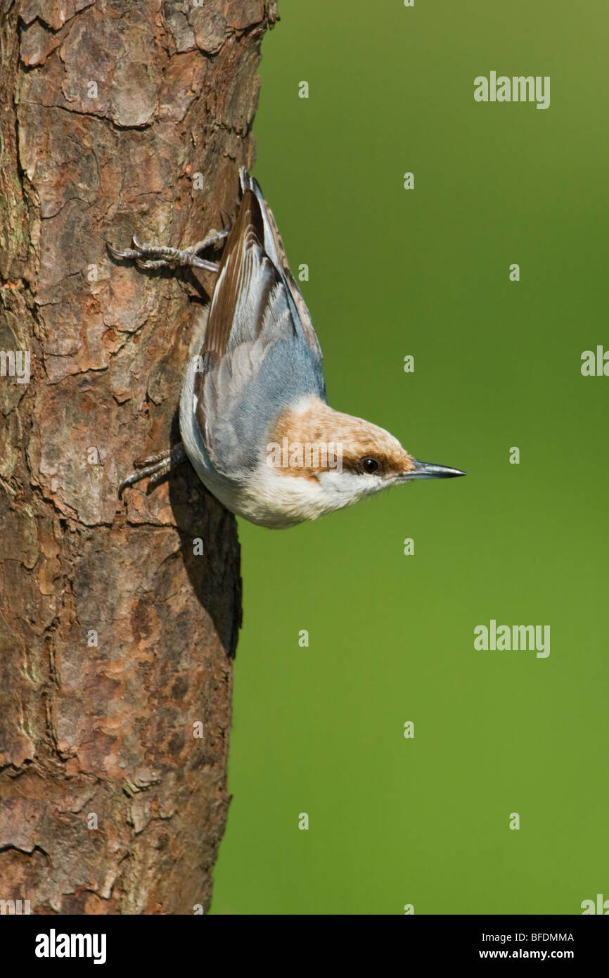 Brown-headed nuthatch (Sitta pusilla) perched on a tree trunk near Houston, Texas, USA - Stock Image