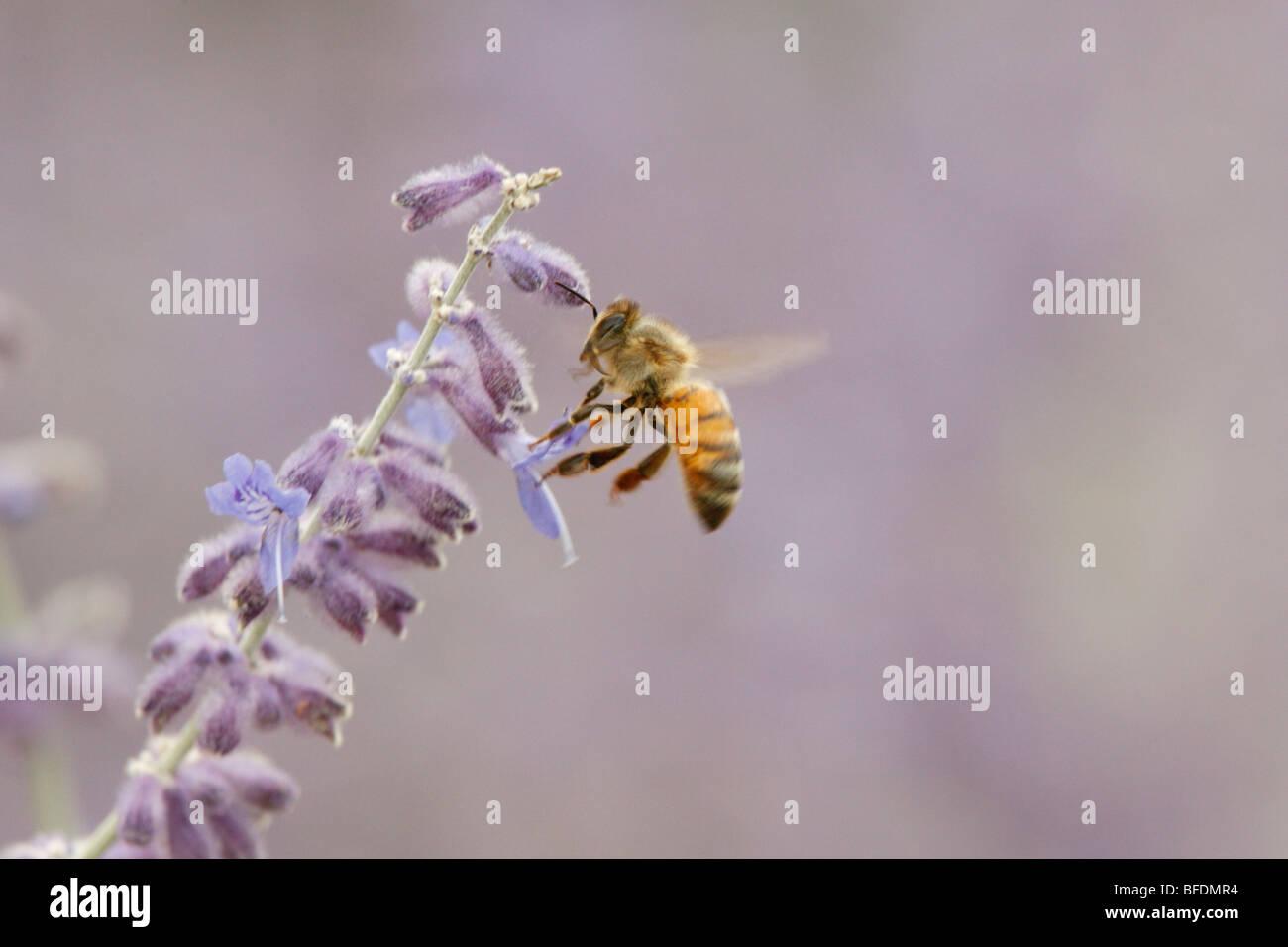 Honey Bee getting Nectar - Stock Image