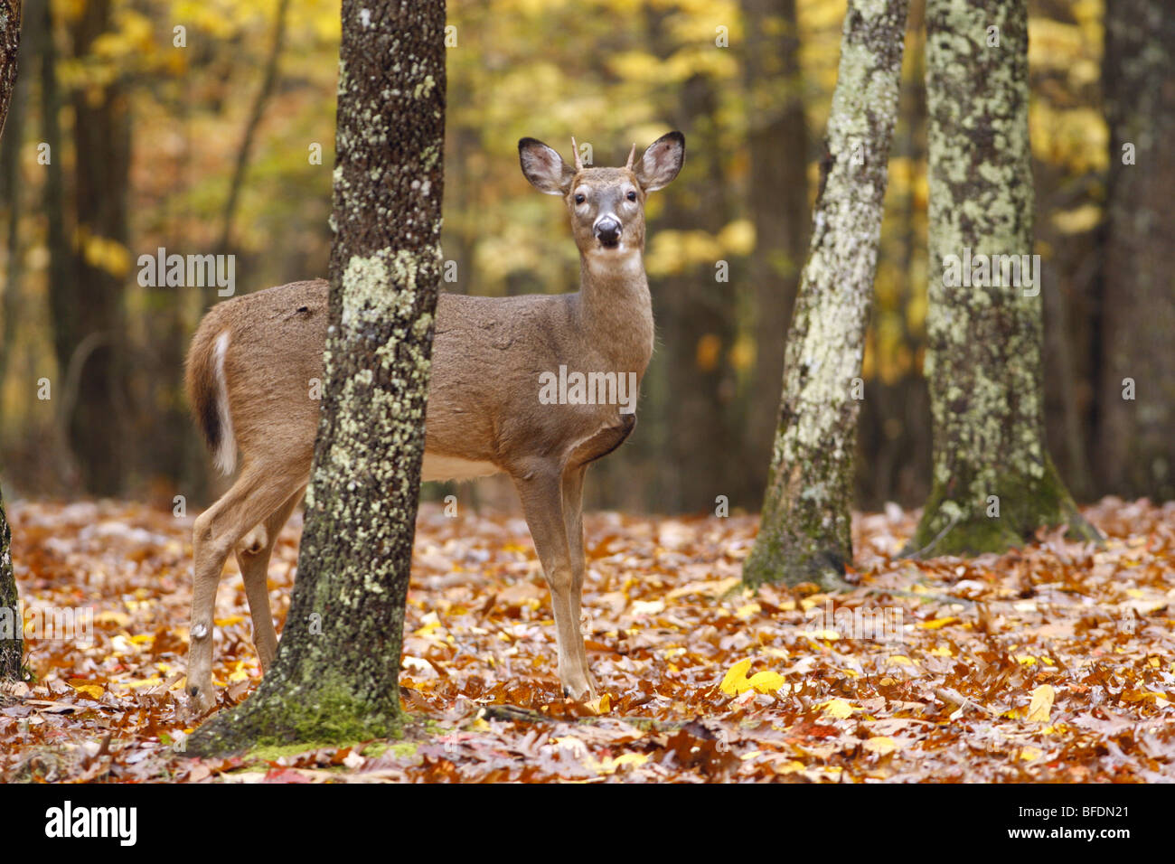 White-tailed Deer in Autumn - Stock Image