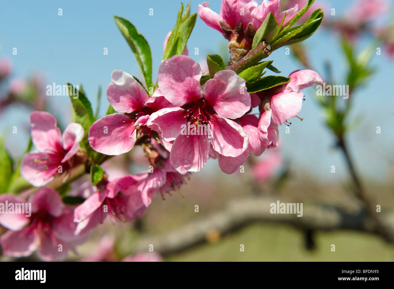 Pink apricot blossom on the tree, Koszeg, Hungary - Stock Image