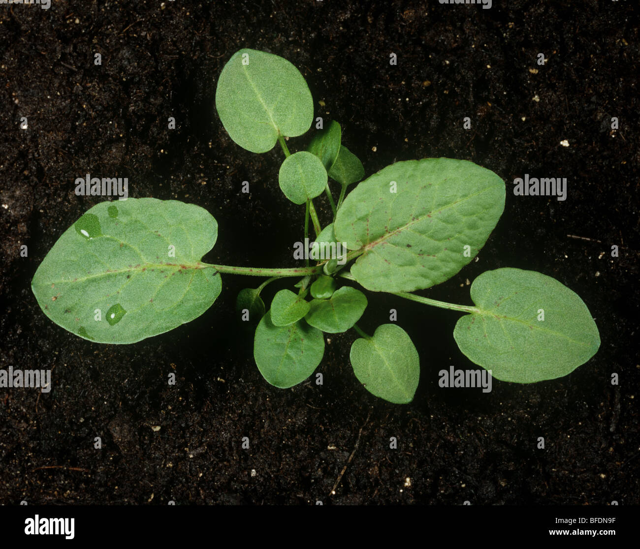 Broad dock (Rumex obtusifolius) young plant on soil background - Stock Image
