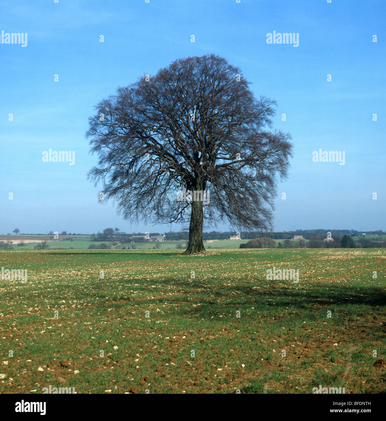 Single leafless beech (Fagus sylvatica) tree in a field of young cereals on a fine late winter day - Stock Image
