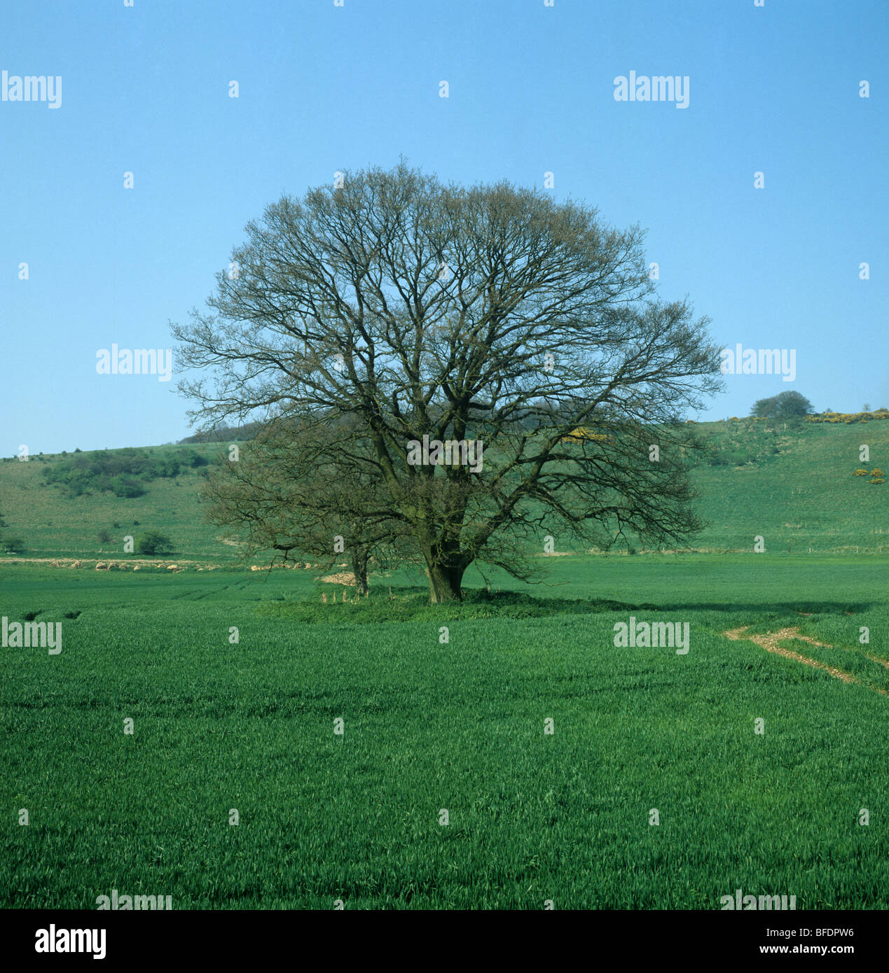 Single oak tree (Quercus robur) with green tinge of leaf buds in early spring in a young cereal crop - Stock Image