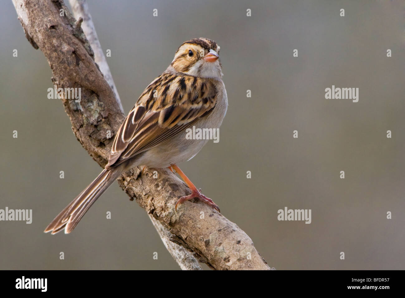 Clay-colored sparrow (Spizella pallida) perched on a branch at Falcon State Park, Texas, USA - Stock Image