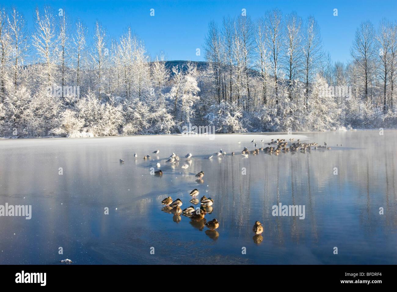 Ducks (Anatidae) on frozen Lafarge Lake at sunrise in Coquitlam, British Columbia, Canada - Stock Image