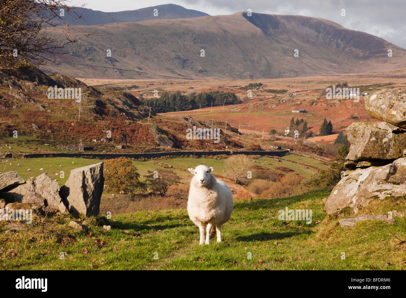 A Welsh Mountain Sheep standing by a stone wall on a hillfarm in Snowdonia countryside. Capel Curig Conwy North - Stock Image