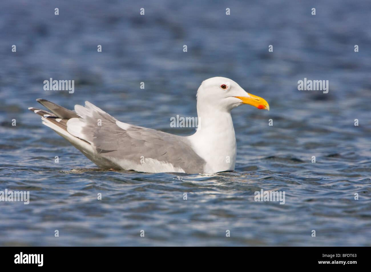 Glaucous-winged Gull (Larus glaucescens) swimming in Victoria, Vancouver Island, British Columbia, Canada - Stock Image