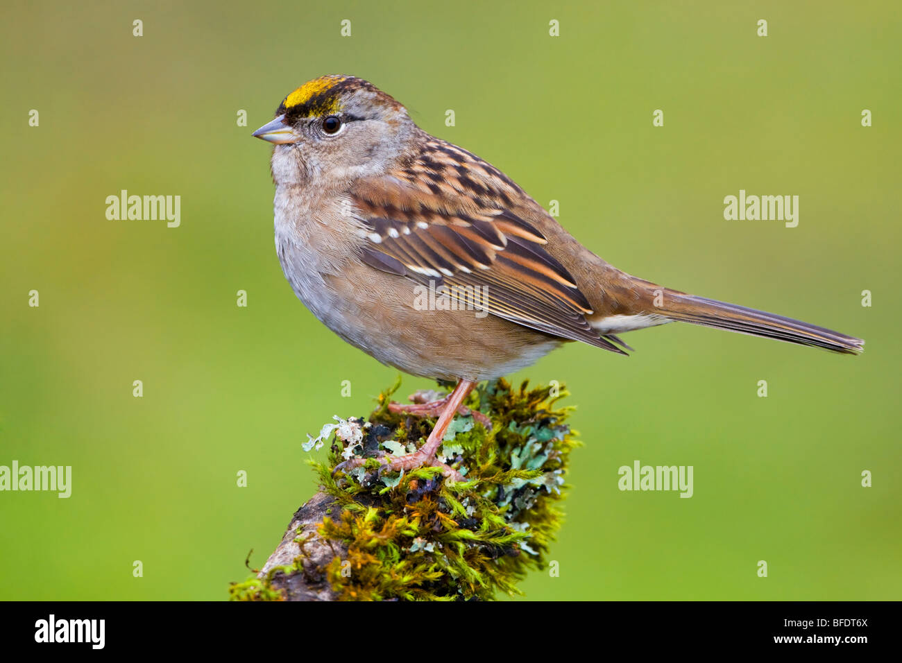 Golden-crowned Sparrow (Zonotrichia atricapilla) perched on mossy branch in Victoria, Vancouver Island, British - Stock Image
