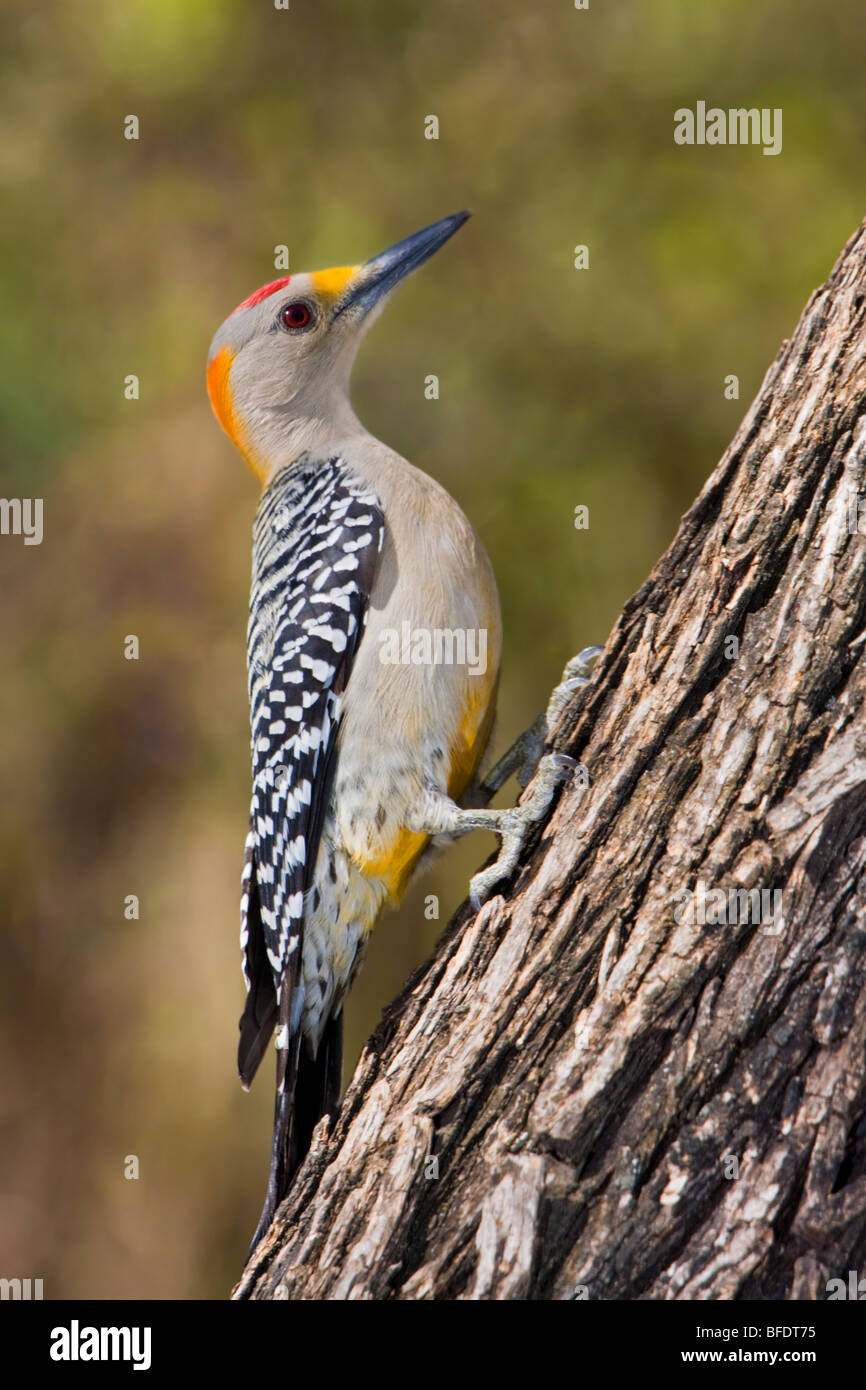 Golden-fronted woodpecker (Melanerpes aurifrons) perched on a tree trunk in the Rio Grande Valley in Texas, USA Stock Photo