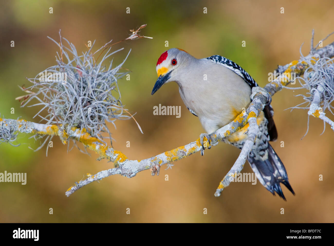 Golden-fronted woodpecker (Melanerpes aurifrons) perched on a branch in the Rio Grande Valley in Texas, USA Stock Photo