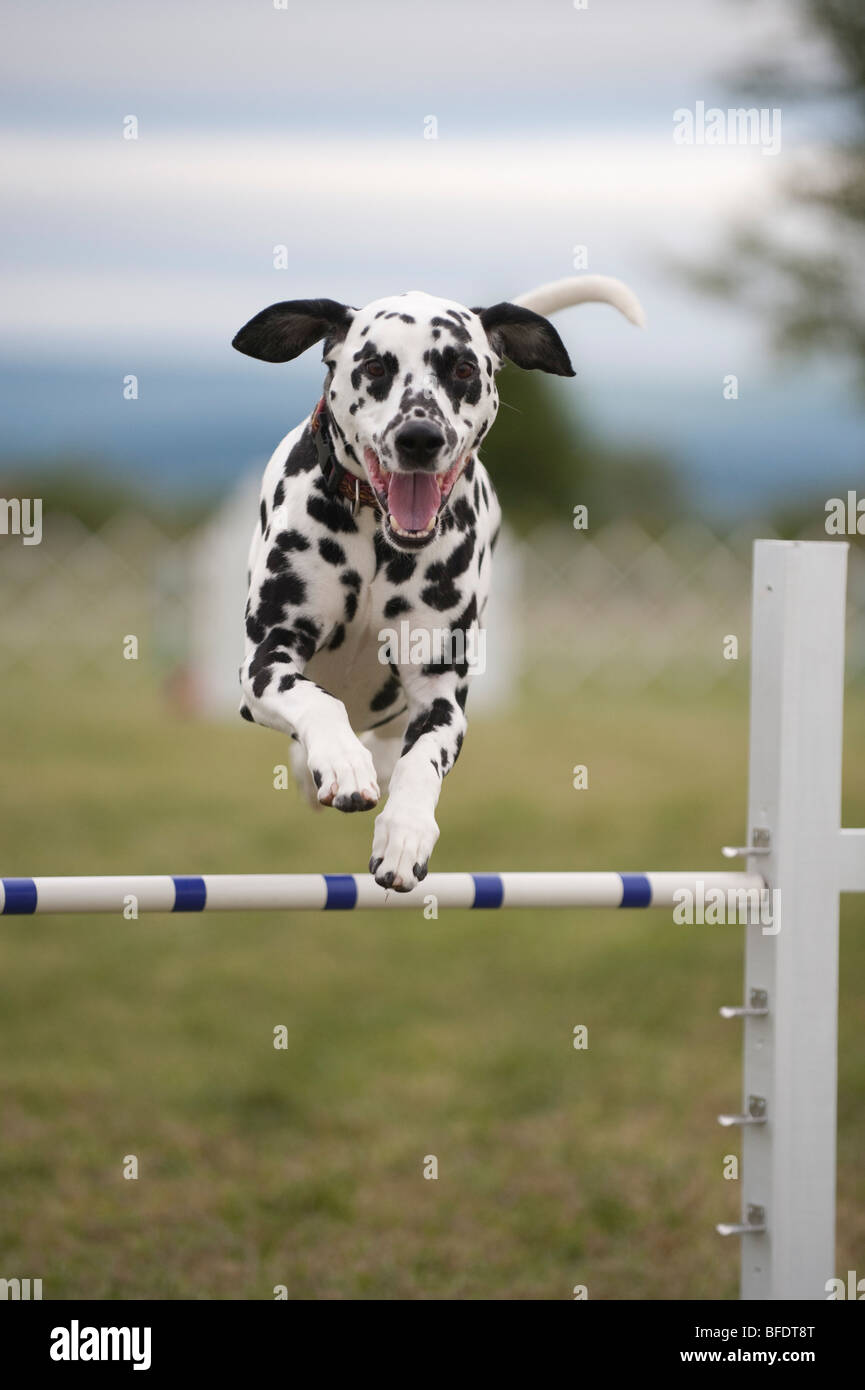 A Dalmatian jumping during an agility competition. Stock Photo
